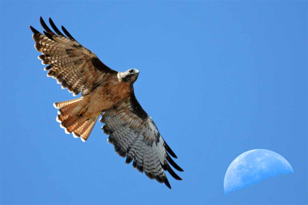 Red Tailed Hawk Spread Your Wings Trust Yourself