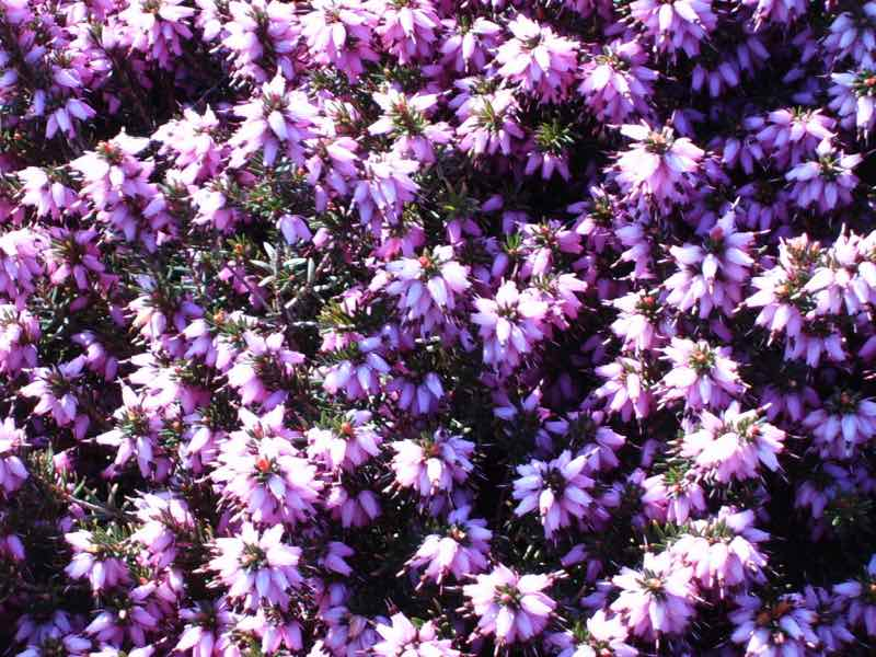 What Heather Flower Essence Does