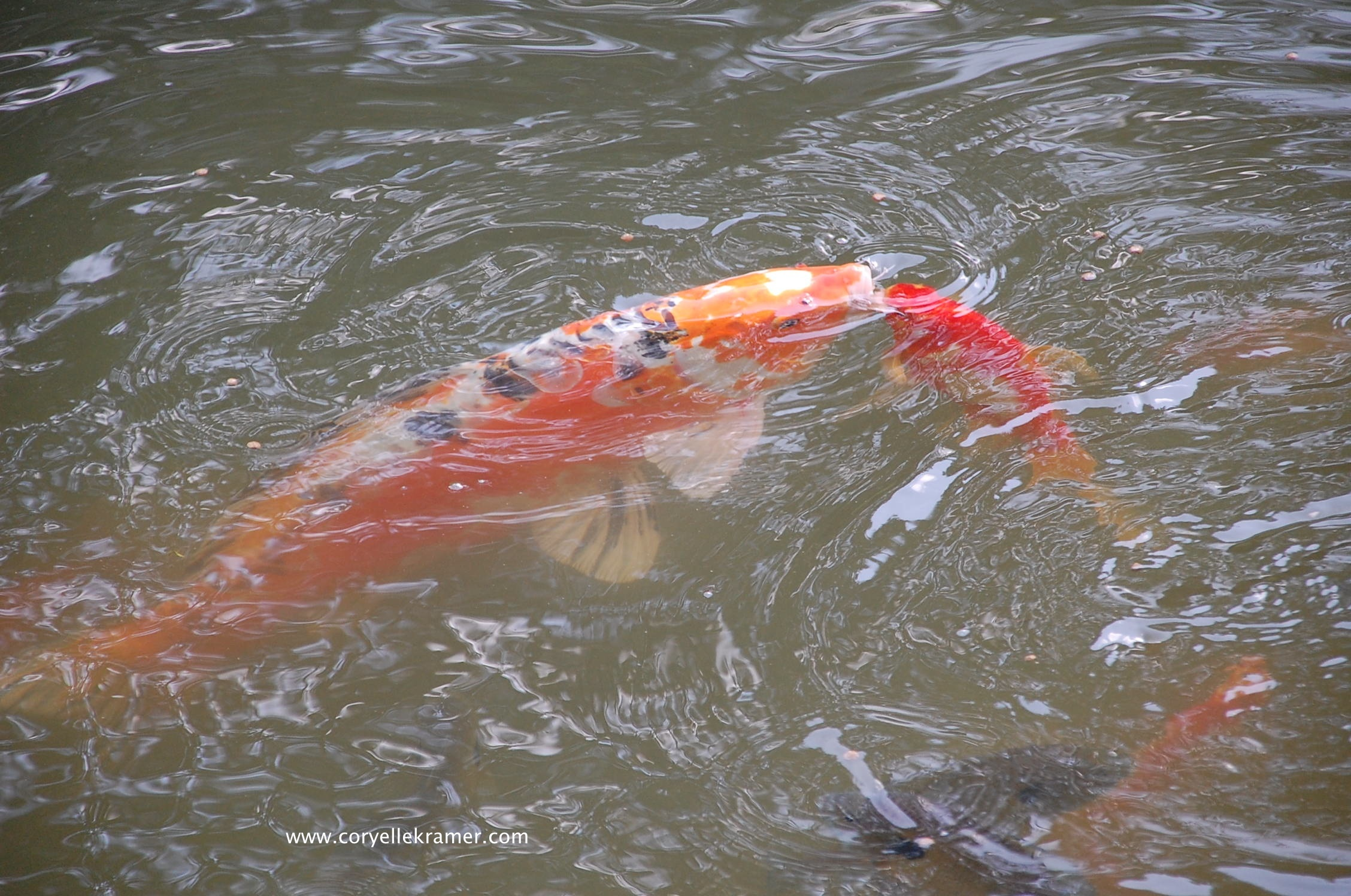 What is beauty animal communication from a koi fish for Japanese koi fish names