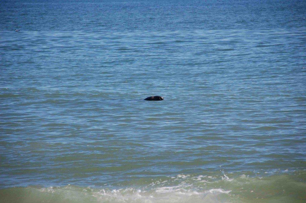 Seal Joy