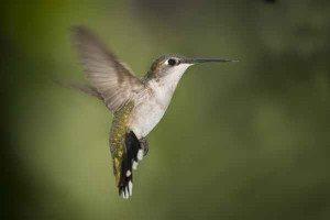 Hummingbird female