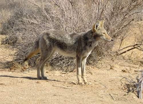 Coyote, Joshua Tree National Park
