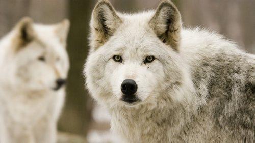 Wolves Fi500