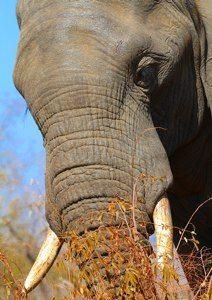 Elephant's message