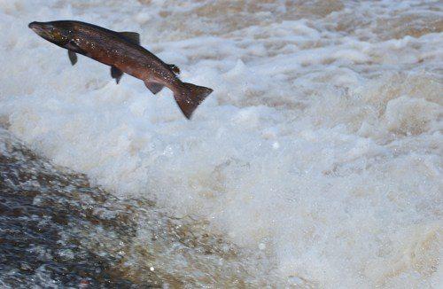 Salmon1FI