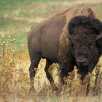 Attuning the Bison to Reiki