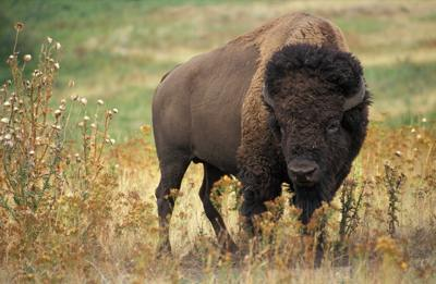 Attuning the Bison to Reiki