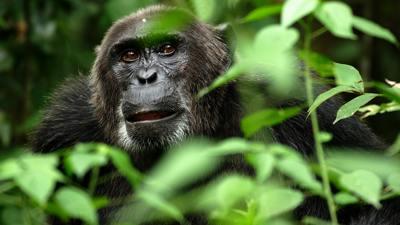 Attuning the Chimpanzees to Reiki