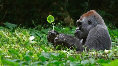 Attuning the Gorillas to Reiki