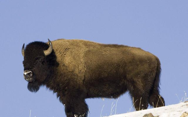 Attuning the Buffalo to reiki