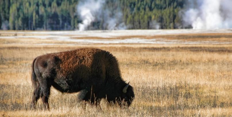 Attuning the Bison Coryelle Kramer Animal Communicator