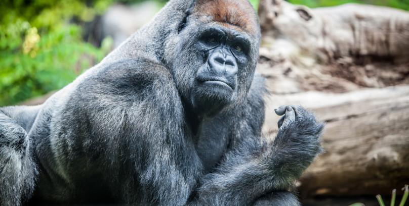 Attuning the Gorilla Animal Communicator Coryelle Kramer