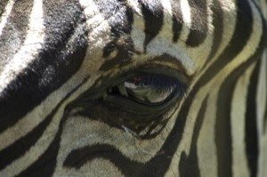 Attuning the Zebras