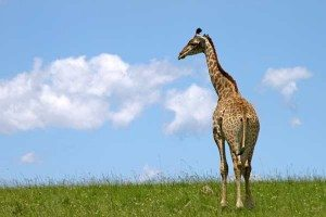 Giraffe attunement and their message