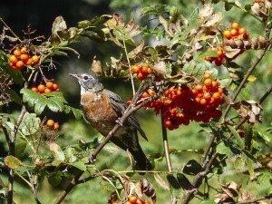 Songbird Attunement 2 Coryelle Kramer