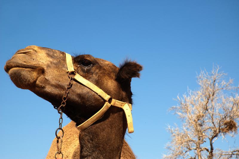 Attuning the Camel Coryelle Kramer
