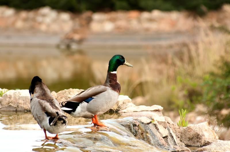 Attuning the Duck Coryelle Kramer