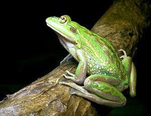 Frog attunement Coryelle Kramer