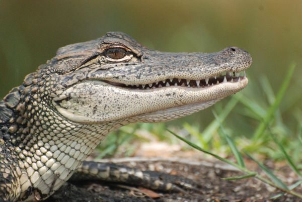 Atttuning Alligator and Crocodiles