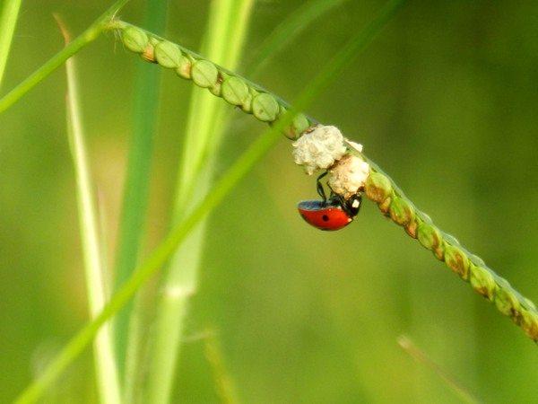 Ladybug reiki attunement