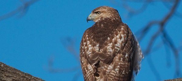 Red Tail Hawk1
