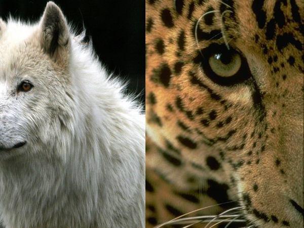 Wolf Cat