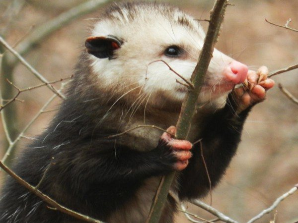 Opossum message