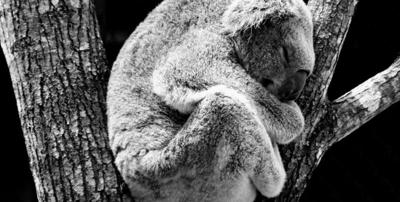 Koala guide