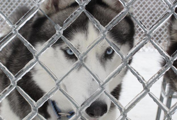 Kayhn Siberian Husky