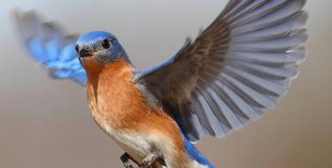 Spirit Guide Bluebird