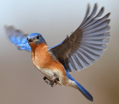 Spirit Guide Bluebird